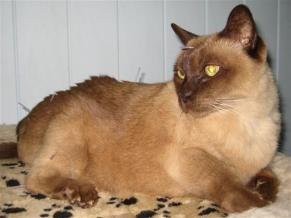 photo indications burmese cat